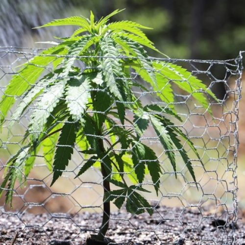Cannabis Growth Tips: The Process From Seeding To Harvesting